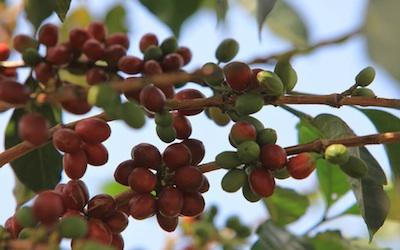 Single Origin Coffee Branch 400